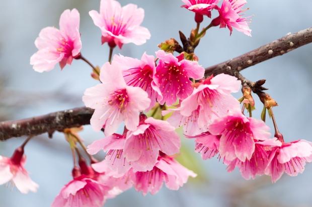 Prunus x kanzakura